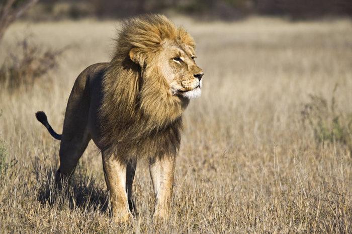 Берберийский лев (Panthera leo leo)