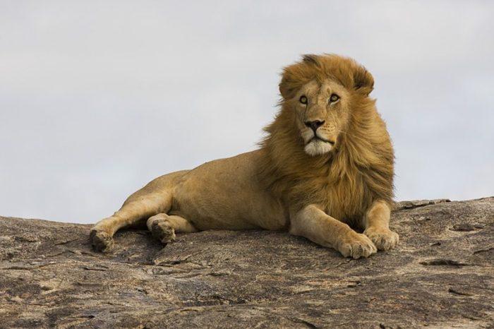 Восточноафриканский или масайский лев (Panthera leo nubica)