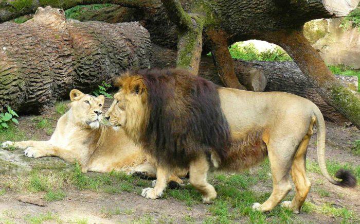 Азиатский, персидский или индийский лев (Panthera leo persica)