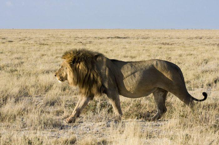 Сенегальский или западноафриканский лев (Panthera leo senegalensis)