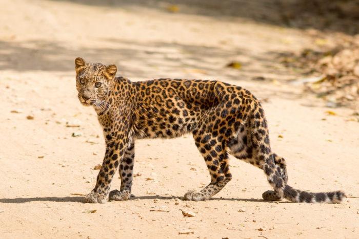 Индокитайский леопард (Panthera pardus delacouri)