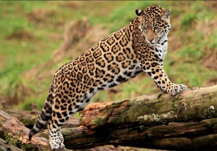 Яванский леопард (Panthera pardus melas)