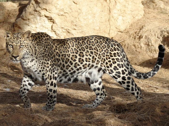Южноаравийский леопард (Panthera pardus nimr)