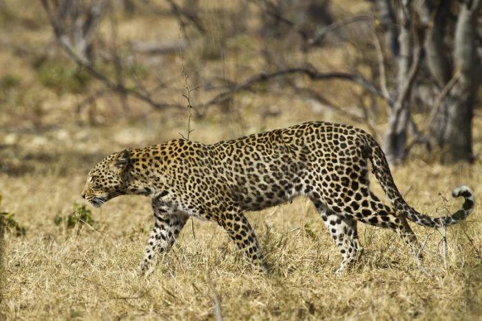 Африканский леопард (Panthera pardus pardus)