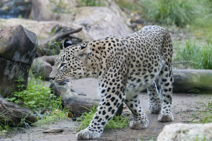 Персидский леопард (Panthera pardus saxicolor)
