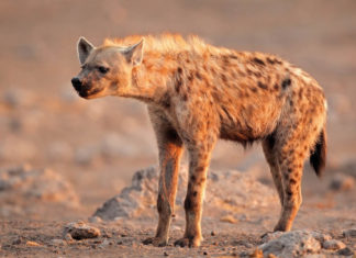 Пятнистая гиена фото