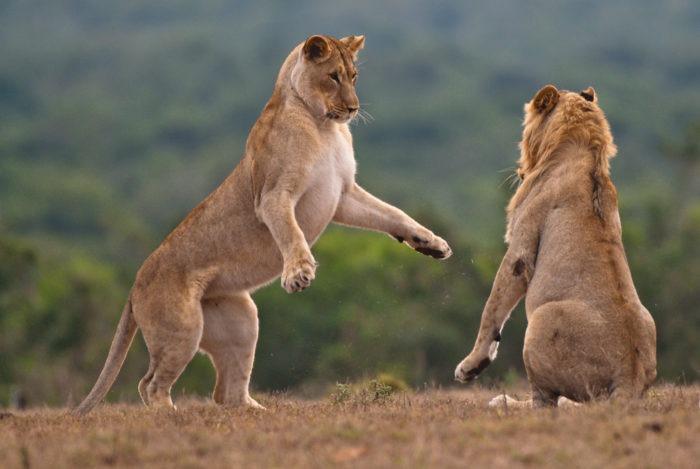 Поведение льва