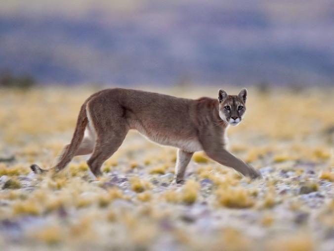 Puma concolor cabrerae