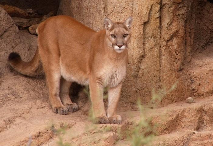 Puma concolor capricornensis