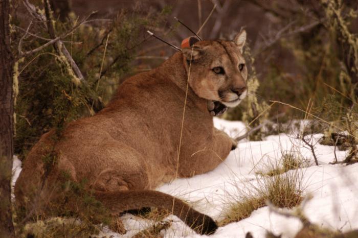 Puma concolor concolor