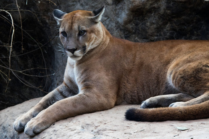 Puma concolor costaricensis