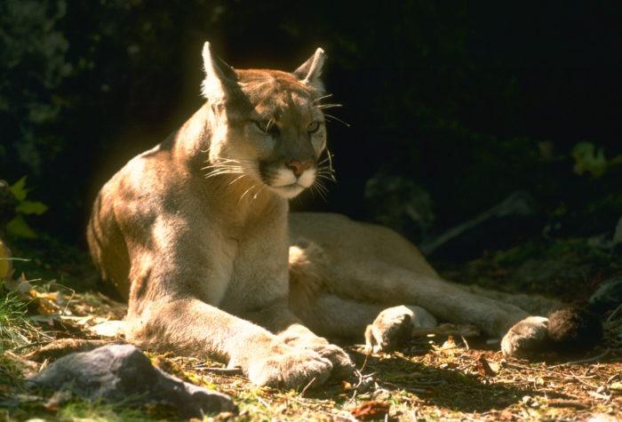 Puma concolor couguar