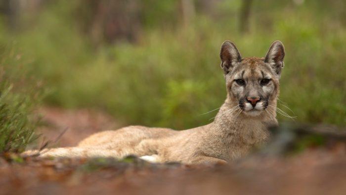 Puma concolor puma