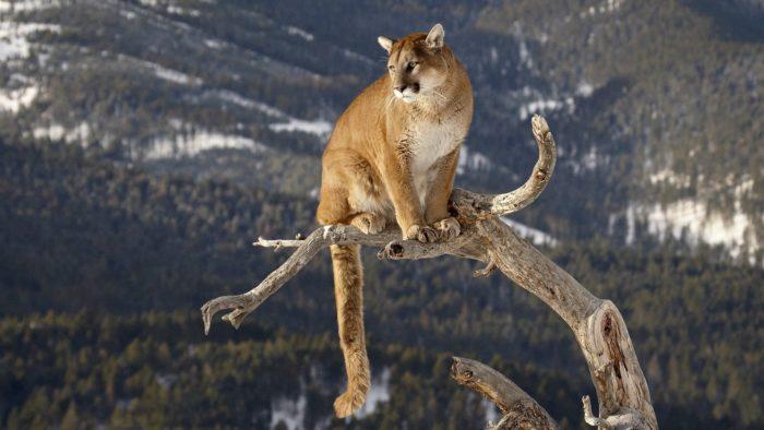 Пума горный лев из Америки