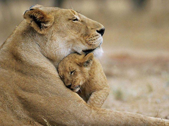 Размножение льва