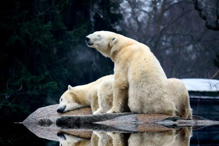 Самец и самка белого медведя: основные отличия