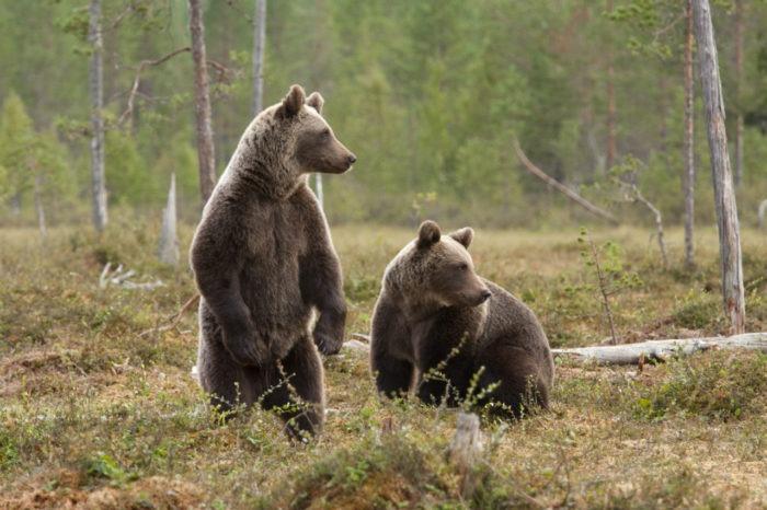 Самец и самка бурого медведя: основные отличия