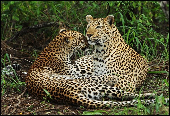Самец и самка леопарда: основные отличия