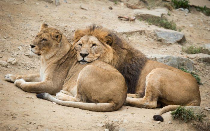 Самец и самка льва: основные отличия