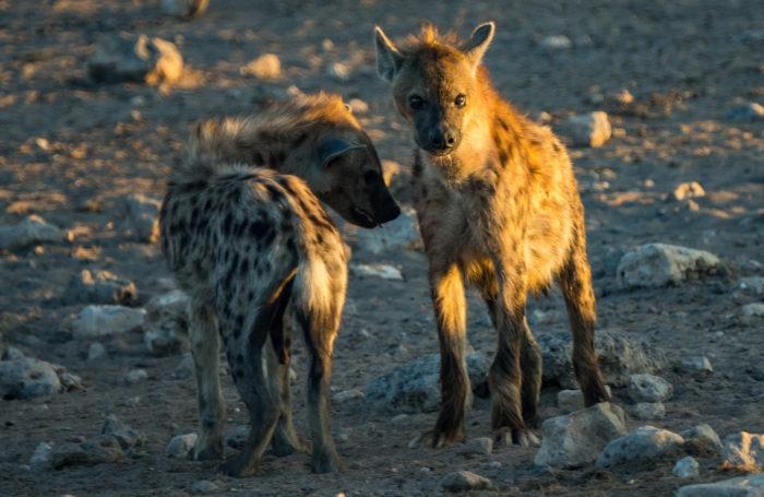 Самец и самка пятнистой гиены: основные отличия