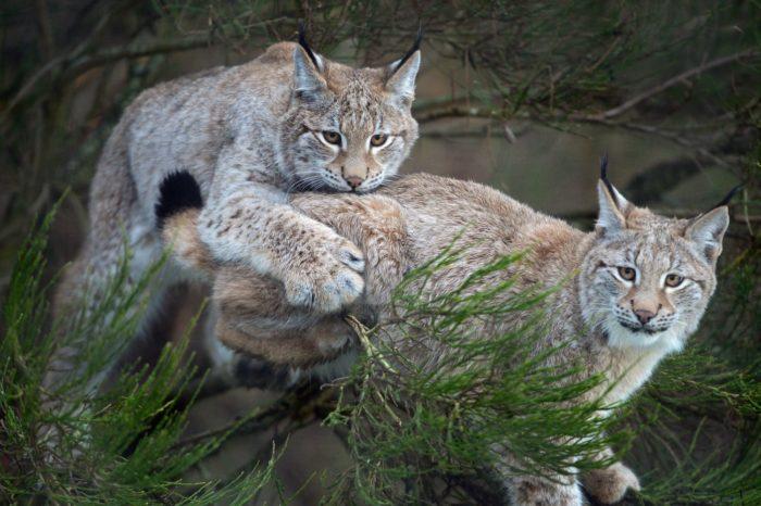 Самец и самка рыси обыкновенной: основные отличия
