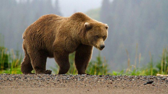 Ursus arctos collaris