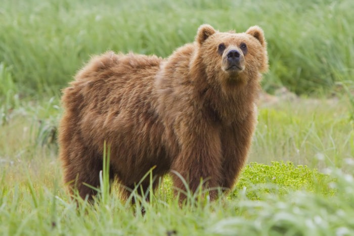 Гобийский бурый медведь или мазалай (Ursus arctos gobiensis)