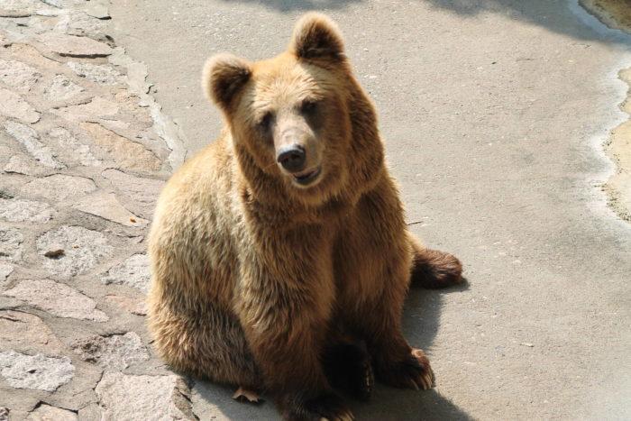 Тянь-шанский бурый медведь (Ursus arctos isabellinus)