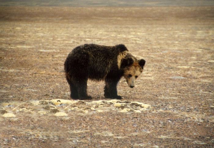 Тибетский бурый медведь или медведь-пищухоед (Ursus arctos pruinosus)