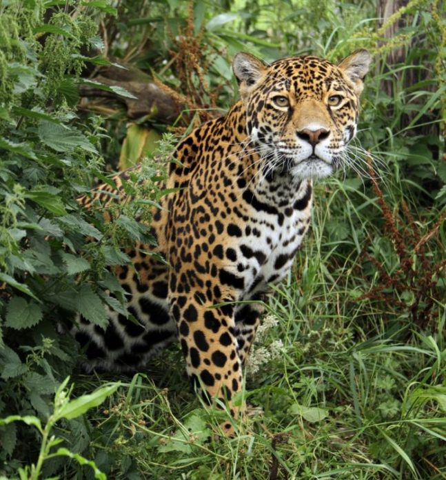 Panthera onca hernandesii (мексиканский ягуар)