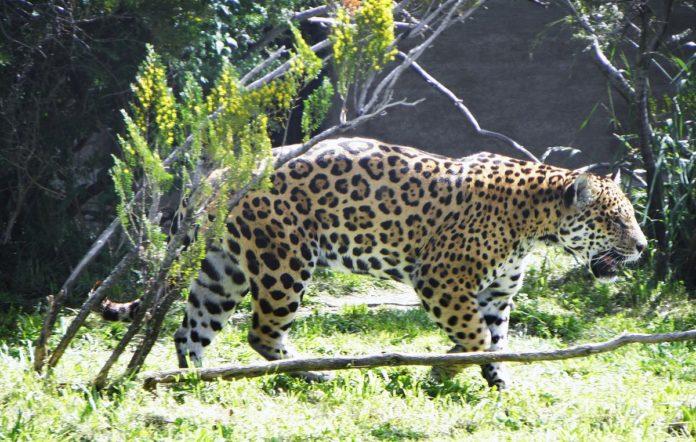 Panthera onca paraguensis (парагвайский ягуар)