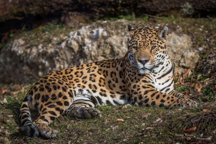 Panthera onca arizonensis (аризонские ягуары)