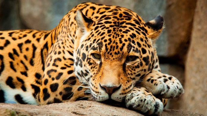Panthera onca centralis (центральноамериканский ягуар)