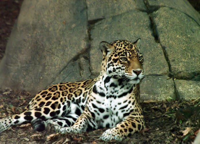 Panthera onca veracrucis (техасский ягуар)
