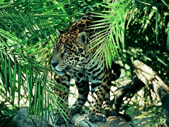 Panthera onca goldmani (ягуар Голдмана)