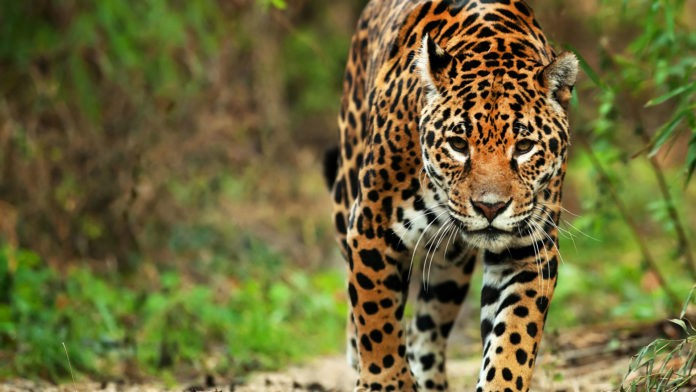 Беременная самка ягуара