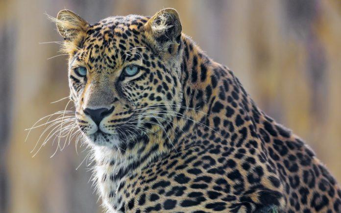 Panthera onca palustris (бразильский ягуар)