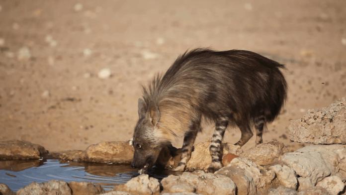 Бурая гиена в сезон засухи фото