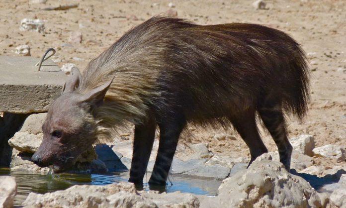 Бурая гиена пьет воду фото
