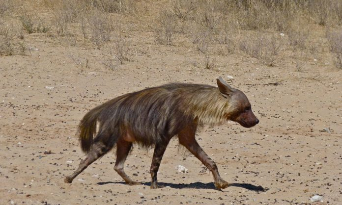 Рост бурой гиены фото