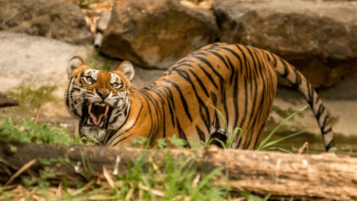 Бенгальский тигр (Panthera tigris tigris)
