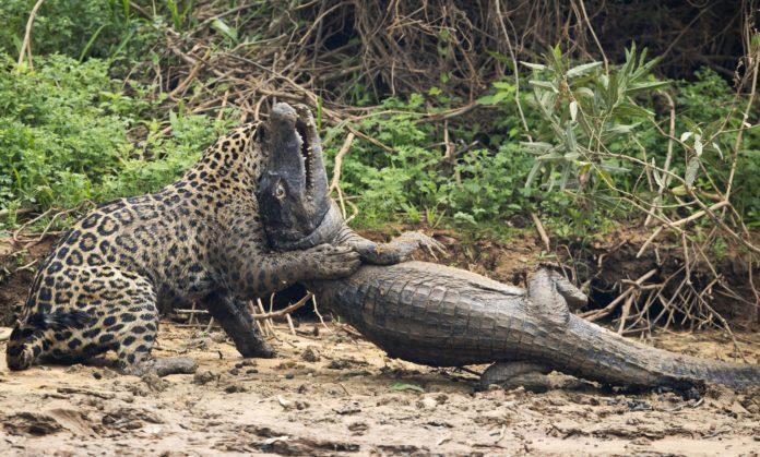 Питание ягуара фото