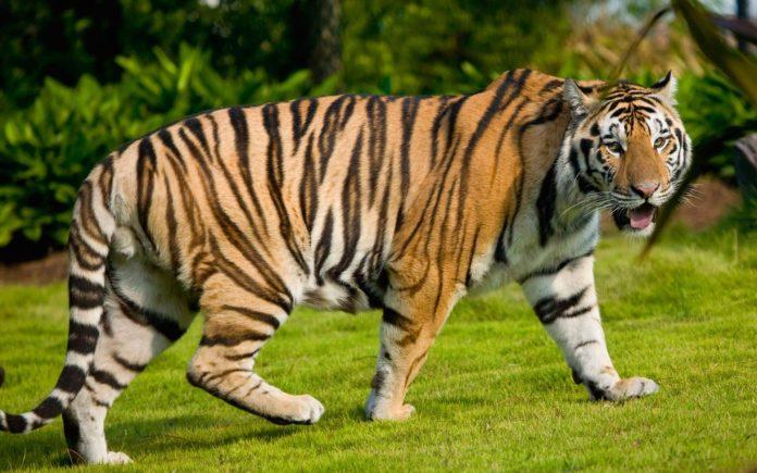 Китайский тигр (Panthera tigris amoyensis)