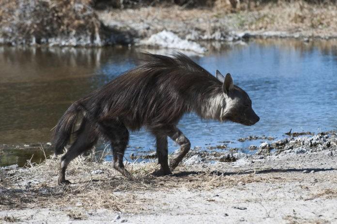 Бурая гиена охотится фото