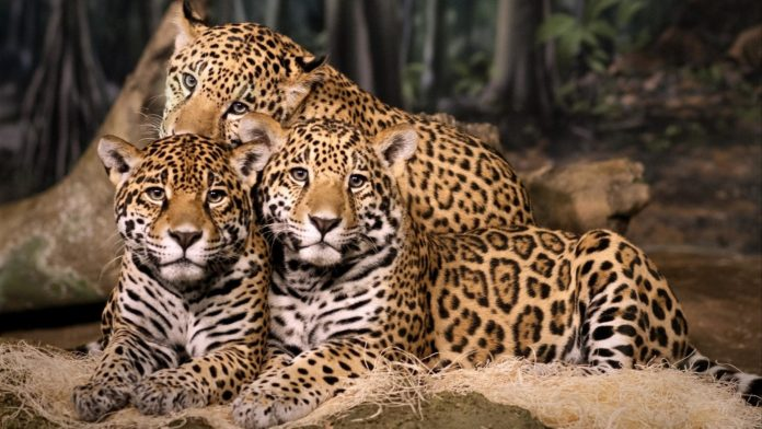 Потомство ягуара