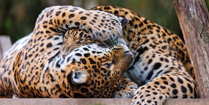 Размножение ягуаров