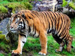 Тигр (Panthera tigris)