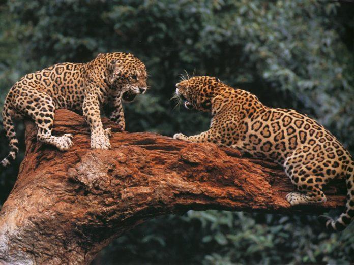 Схватка ягуаров фото