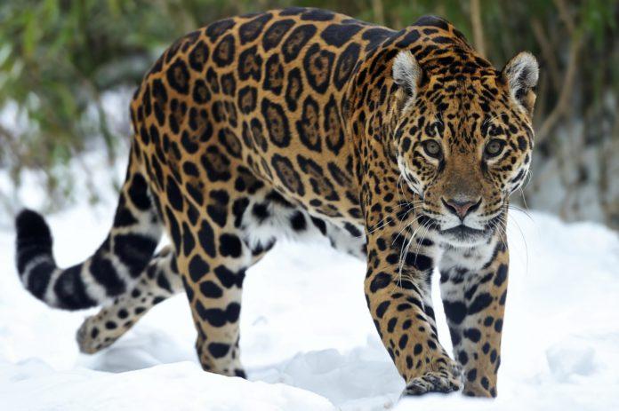 Ягуар в заповеднике фото