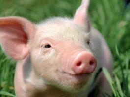 Свинья фото